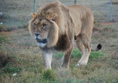 Born free lion - par 5